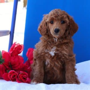 Standard Poodle Puppies For Sale 3