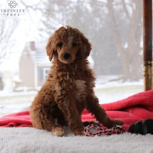 Standard Poodle Puppies For Sale 1