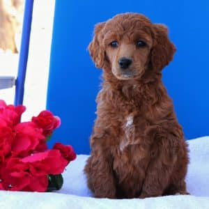 Standard Poodle Puppies For Sale 4
