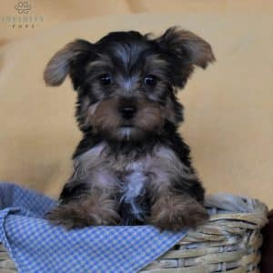 Yorkshire Terrier Puppies For Sale 4