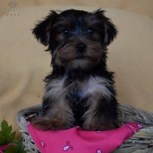 Yorkshire Terrier Puppies For Sale 5