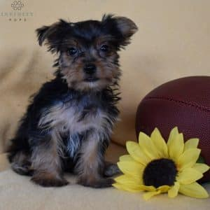 Yorkshire Terrier Puppies For Sale 3