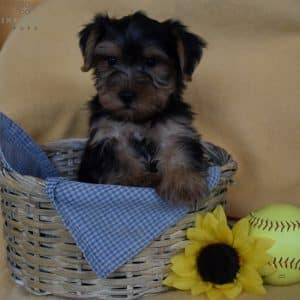 Yorkshire Terrier Puppies For Sale 2