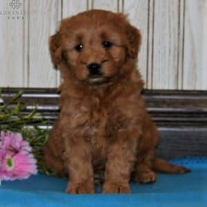 Mini Goldendoodle Puppies For Sale 21