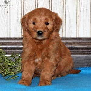 Mini Goldendoodle Puppies For Sale 28