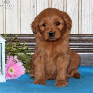 Mini Goldendoodle Puppies For Sale 23