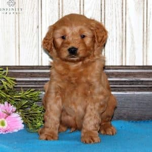 Mini Goldendoodle Puppies For Sale 24