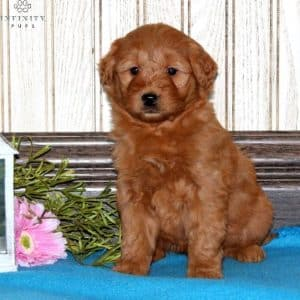 Mini Goldendoodle Puppies For Sale 27