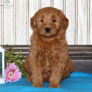 Mini Goldendoodle Puppies For Sale 25