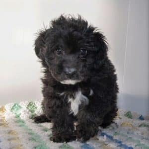 Aussiedoodle Puppies For Sale 3