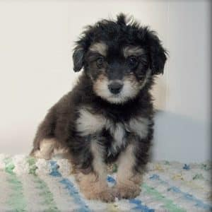 Aussiedoodle Puppies For Sale 5