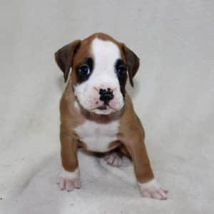 Boxer Puppies For Sale 9