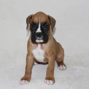 Boxer Puppies For Sale 7