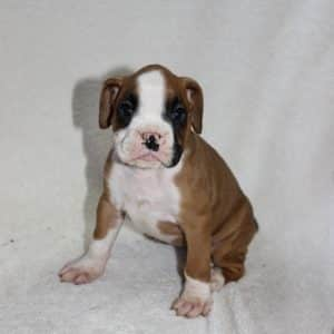Boxer Puppies For Sale 6