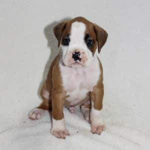 Boxer Puppies For Sale 4