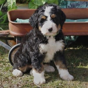 Bernedoodle Puppies For Sale 9