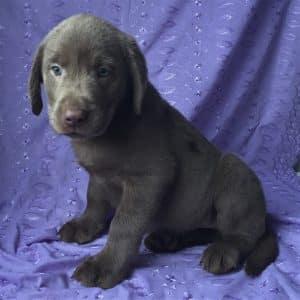 Silver Labrador Puppies For Sale 5