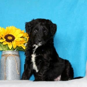 Aussiedoodle Puppies For Sale 6