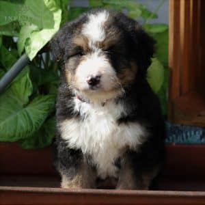 Bernedoodle Puppies For Sale 1