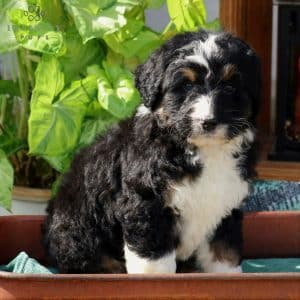 Bernedoodle Puppies For Sale 3