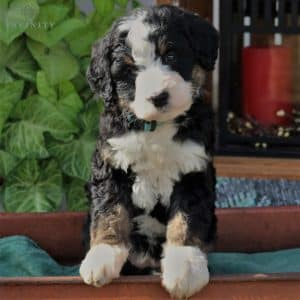 Bernedoodle Puppies For Sale 2