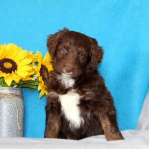 Aussiedoodle Puppies For Sale 8