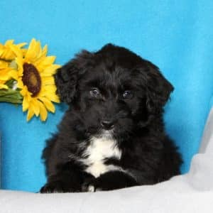 Aussiedoodle Puppies For Sale 2