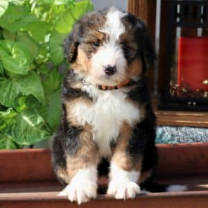 Bernedoodle Puppies For Sale 10