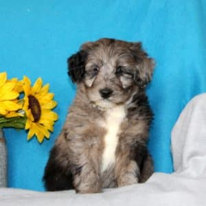 Aussiedoodle Puppies For Sale 7