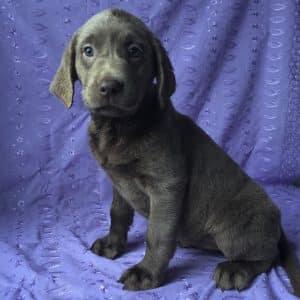 Silver Labrador Puppies For Sale 2