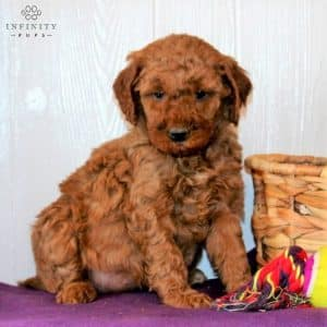 Mini Goldendoodle Puppies For Sale 8