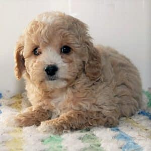 Cavapoo Puppies For Sale 8
