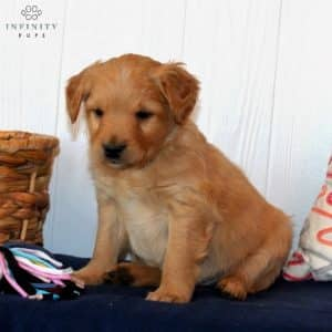 Mini Goldendoodle Puppies For Sale 3