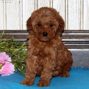Mini Goldendoodle Puppies For Sale 17