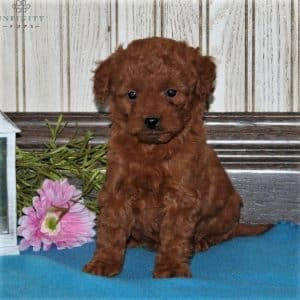 Mini Goldendoodle Puppies For Sale 18