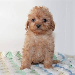 Cavapoo Puppies For Sale 5