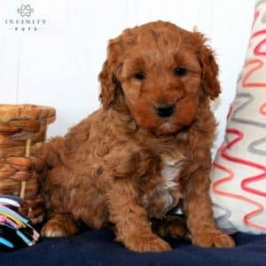Mini Goldendoodle Puppies For Sale 37