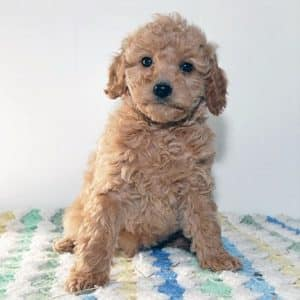 Cavapoo Puppies For Sale 4