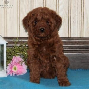 Mini Goldendoodle Puppies For Sale 19