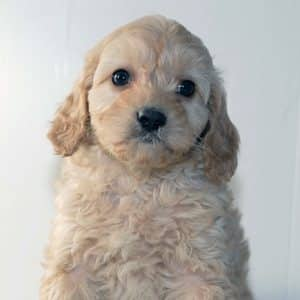 Cavapoo Puppies For Sale 6