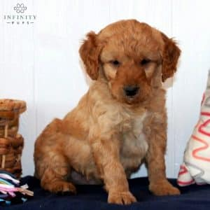 Mini Goldendoodle Puppies For Sale 36