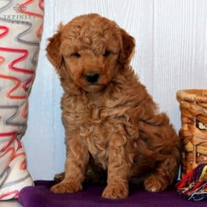 Mini Goldendoodle Puppies For Sale 6