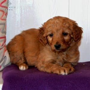 Mini Goldendoodle Puppies For Sale 5