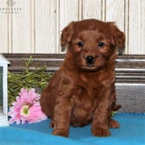 Mini Goldendoodle Puppies For Sale 20