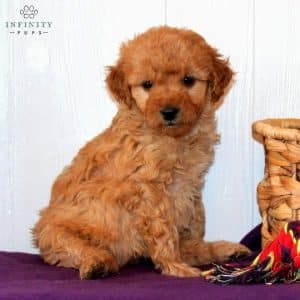 Mini Goldendoodle Puppies For Sale 4