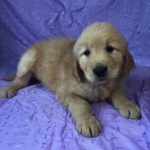 Golden Retriever Puppies For Sale 3