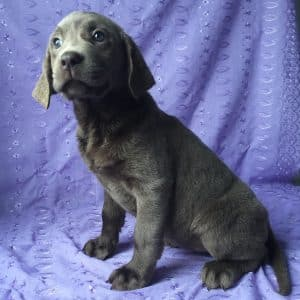 Silver Labrador Puppies For Sale 3