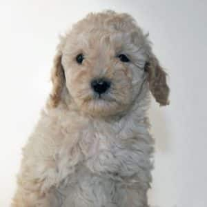 Cavapoo Puppies For Sale 2