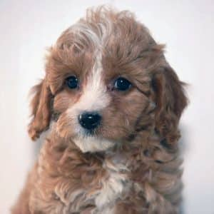 Cavapoo Puppies For Sale 7
