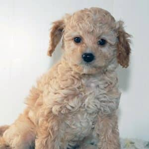 Cavapoo Puppies For Sale 3